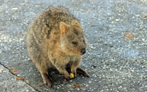Lovely Quokka relaxing in Rottnest Island