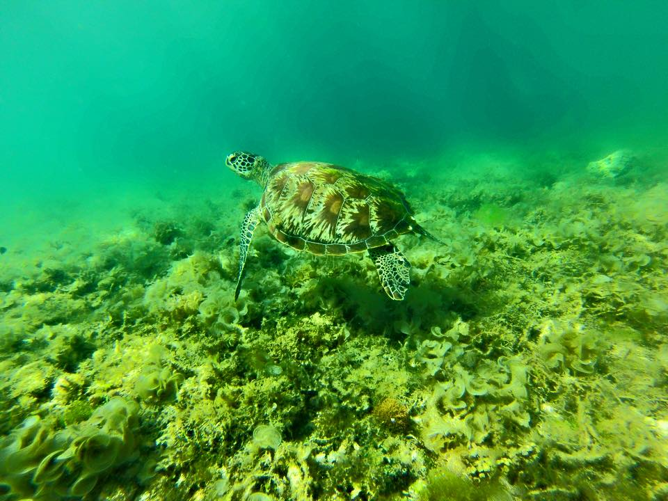 Cebu island Philippines. Turtles in Moalboal