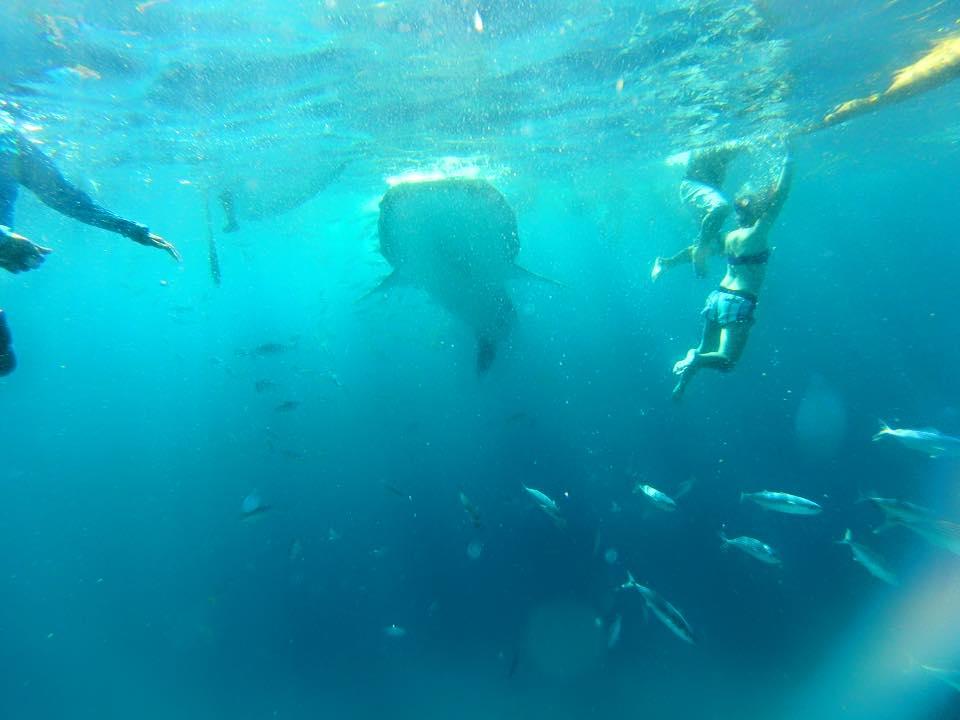 sunsettravellers whale shark encounter in Oslob
