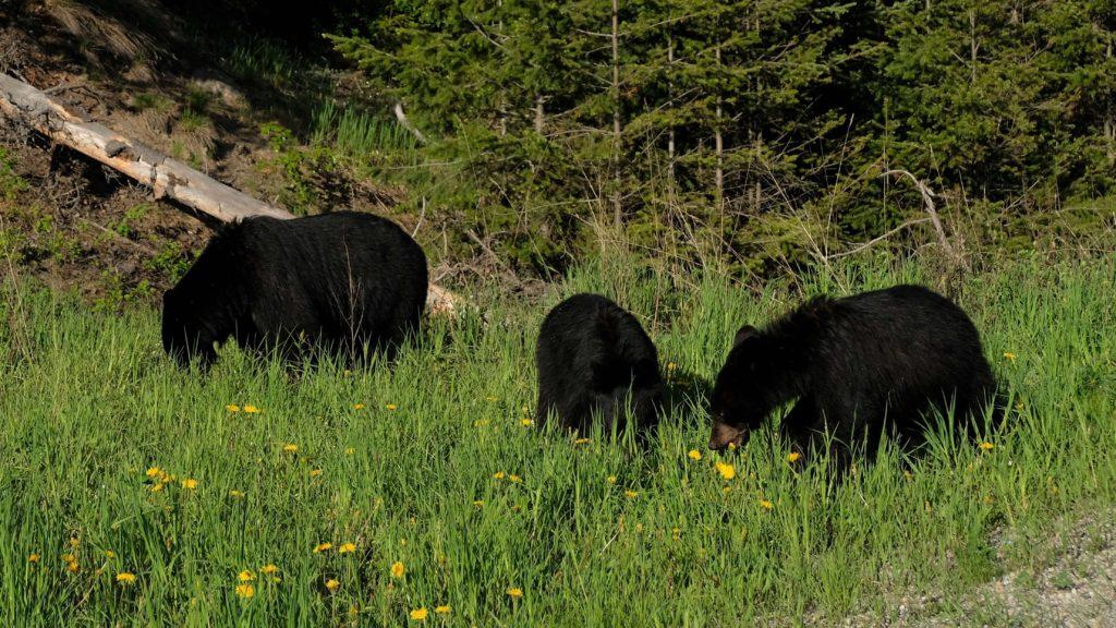 Canadian rockies road trip spotting a few black bears