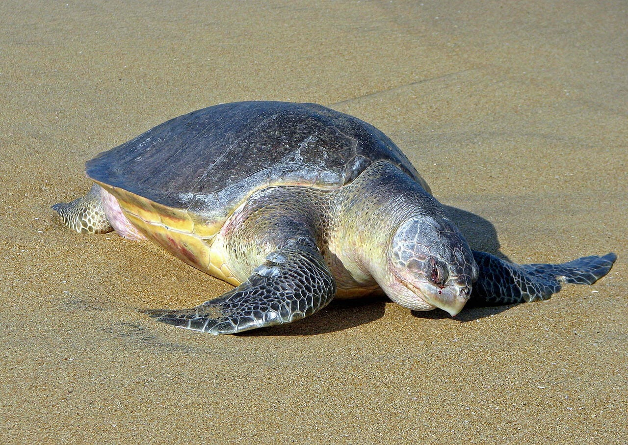 See olive ridley turtles is one of Things To Do In Nicaragua