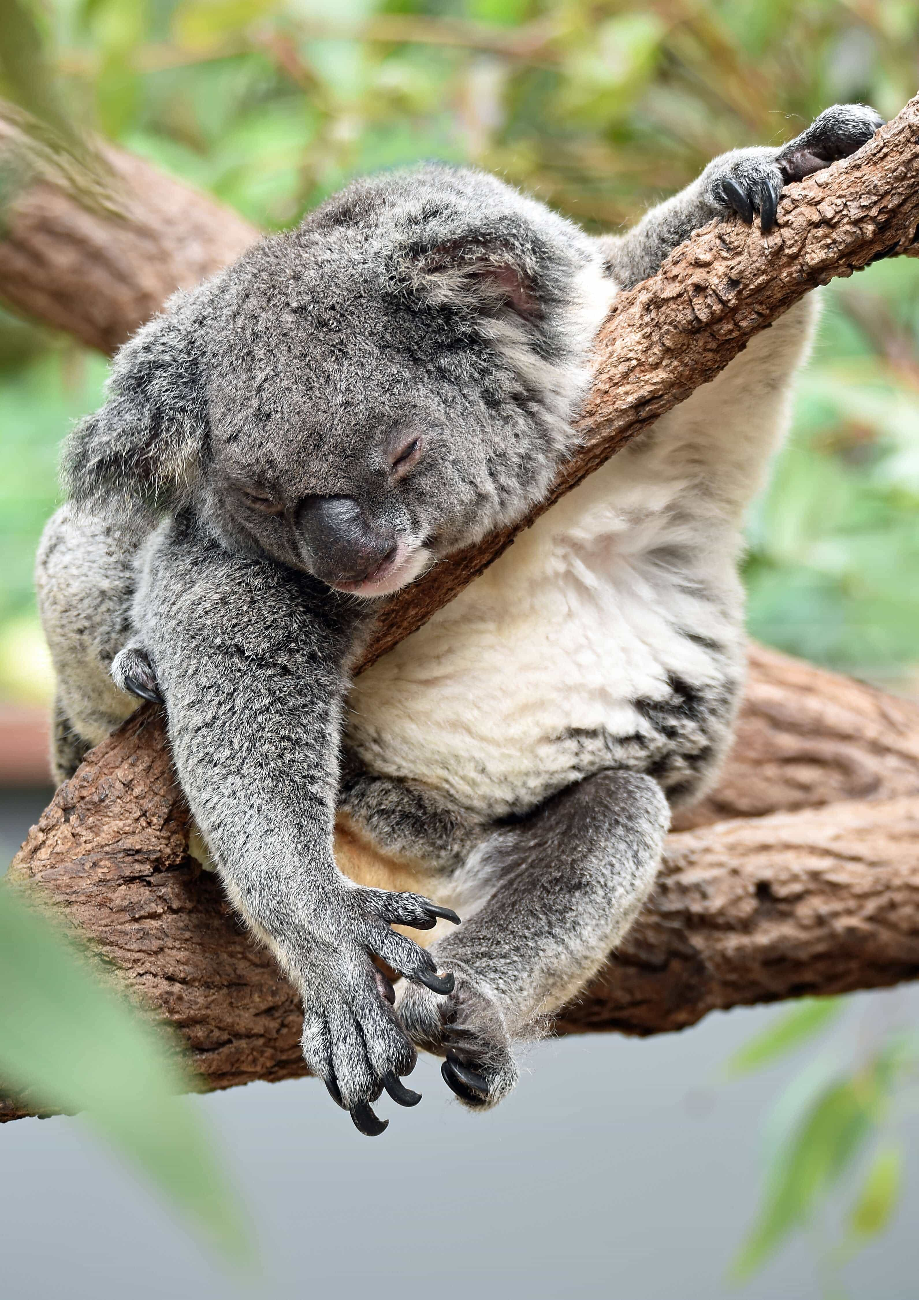 Moving To Australia? 110+ Things You Need To Know Before Moving Over - Do drop bears really exist?