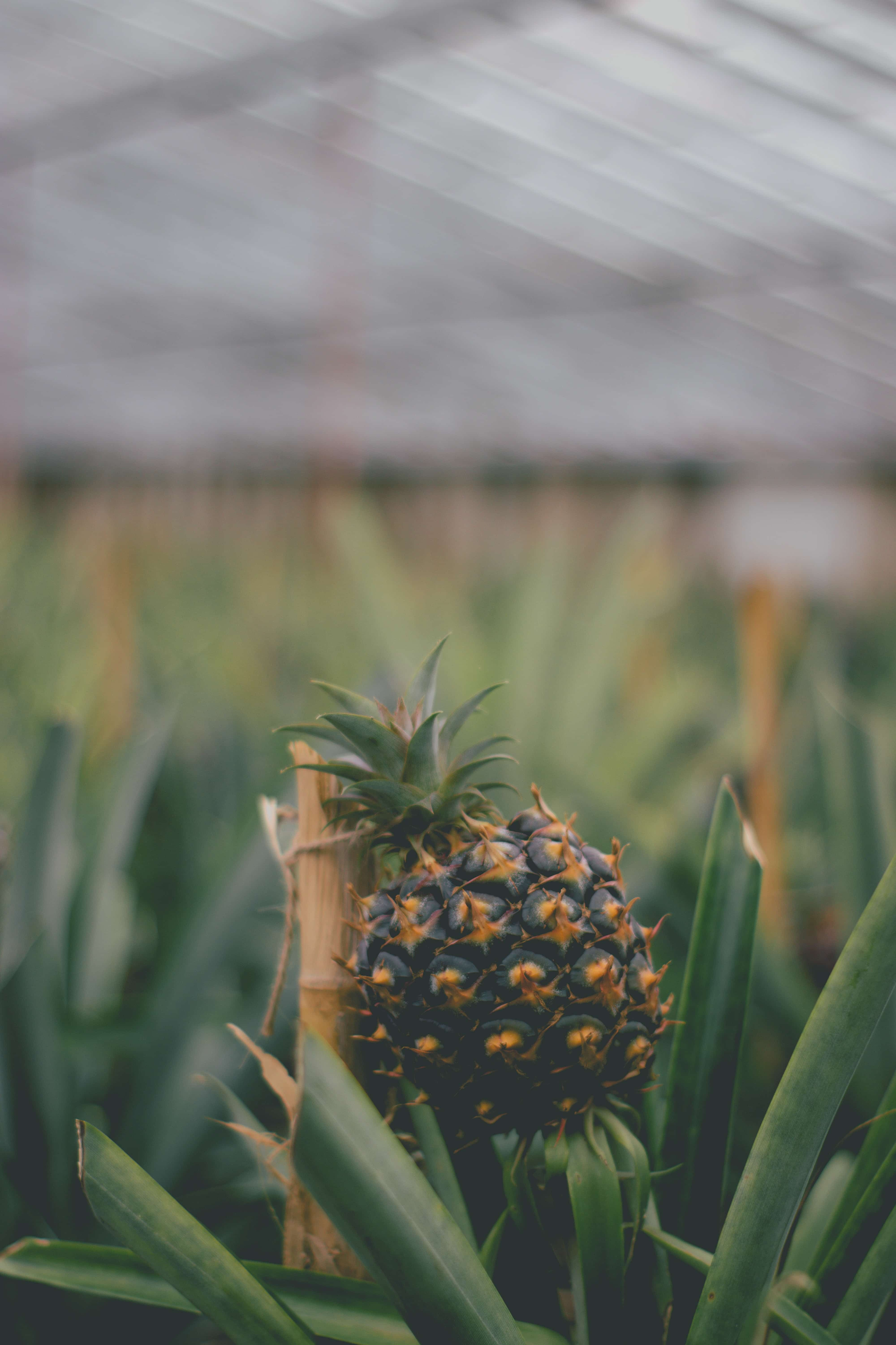 20 Unmissable Things To Do On São Miguel Island, Azores - Sao Miguel Pineapple Plantation In Ponta Delgada