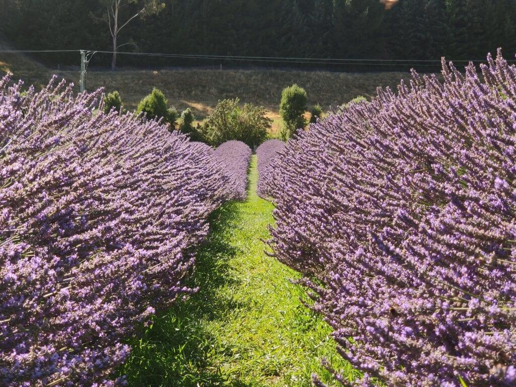 Wanaka lavender farms